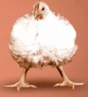 مرغ ماشینی