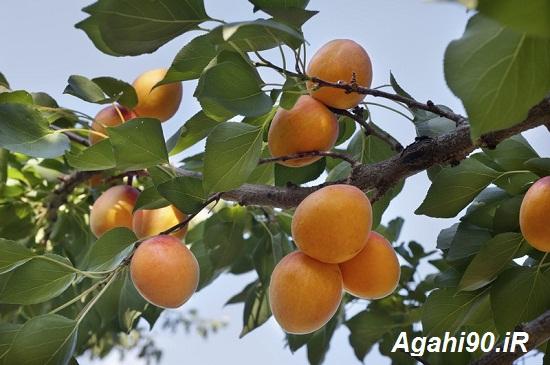 زردآلو : درخت زردآلو