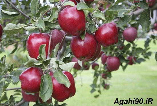 درخت سیب قرمز : سیب قرمز : علی میرزالو