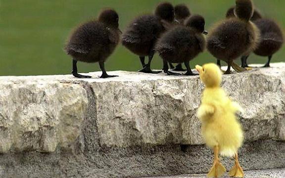 اردک ...