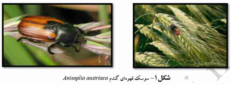 Anisoplia leucaspis Cast