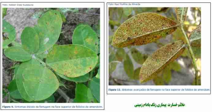 علایم خسارت بیماری Puccinia arachidis Speg