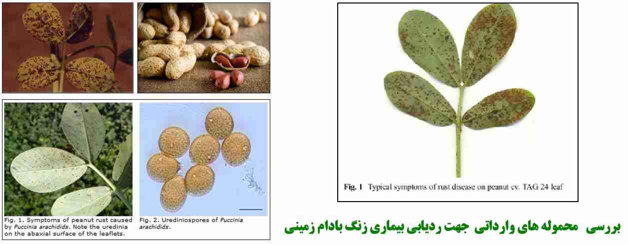 بررسی محموله های وارداتی جهت ردیابی بیماری زنگ بادام زمینی