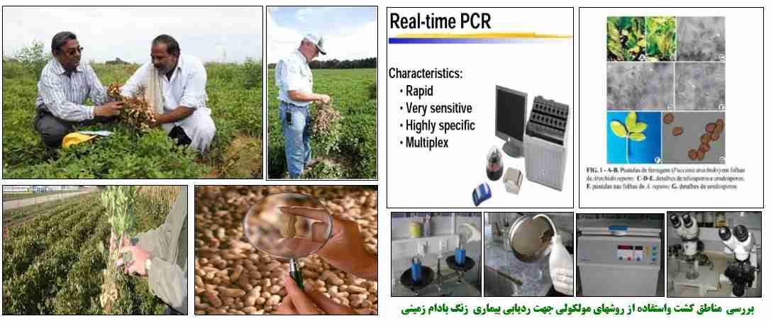 بررسی مناطق کشت و استفاده از روش های مولکولی جهت ردیابی بیماری زنگ بادام زمینی