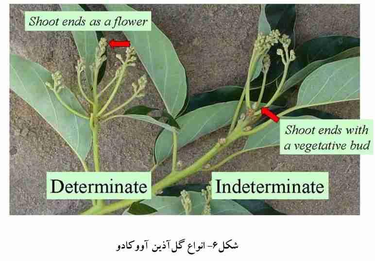 انواع گل آذین آووکادو