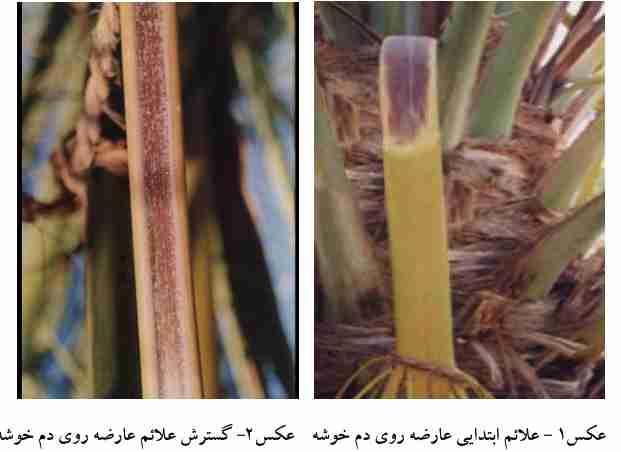 علایم ابتدایی خشکیدگی خوشه خرما روی دم و همینطور علایم گسترش آن