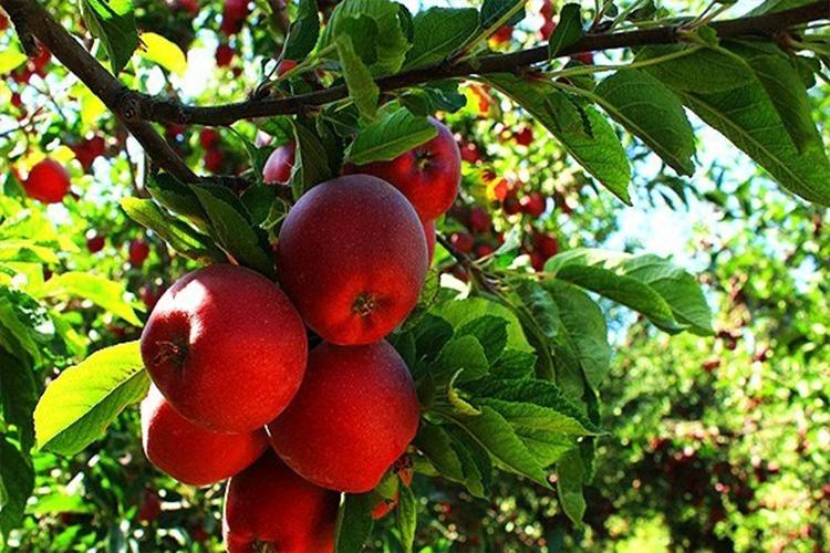 سیب میانه