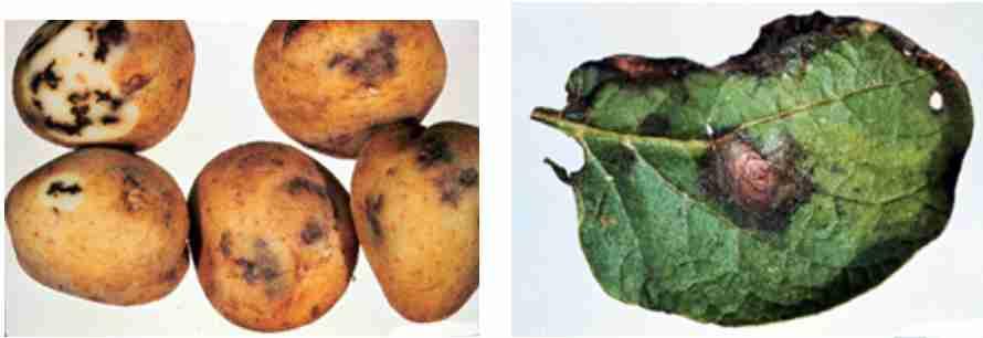 علایم بیماری بلایت زودرس سیب زمینی