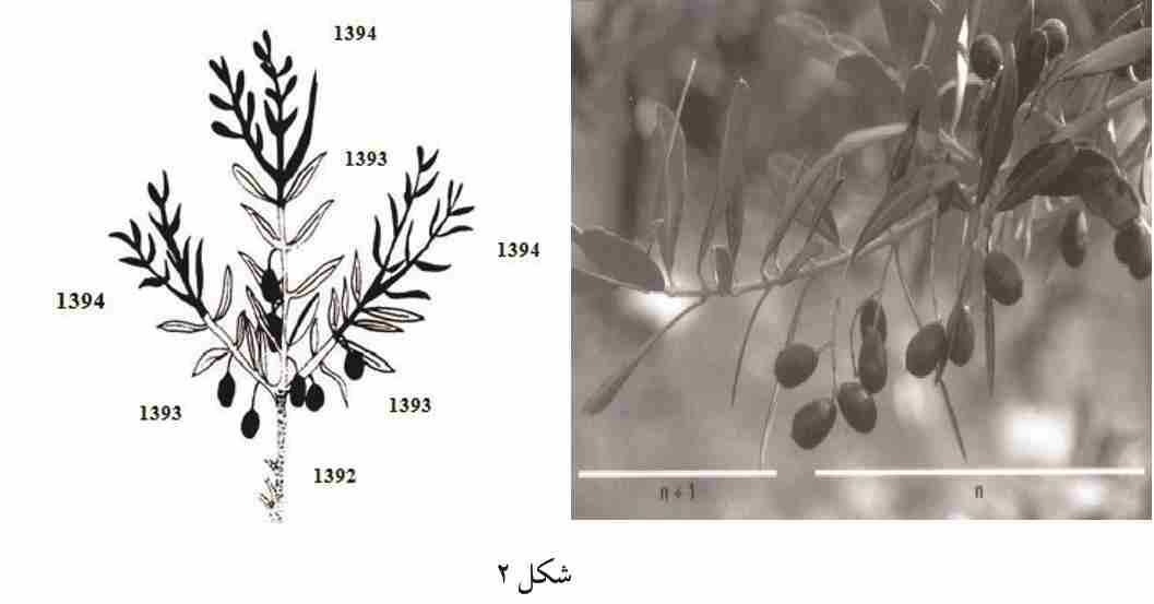آموزش هرس درختان زیتون