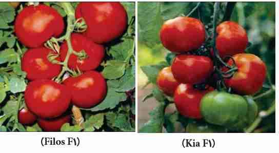رقمهای هیبرید گوجه فرنگی