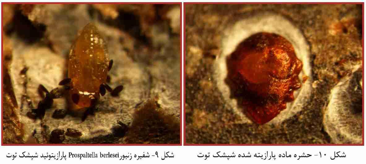شفيره زنبور Prospaltella berlesei پارازيتوئید شپشک توت