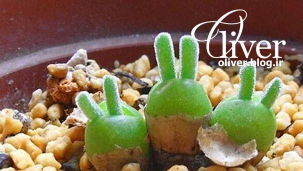 محبوبترین گیاه اینروزهای ژاپن که شبیه خرگوشه