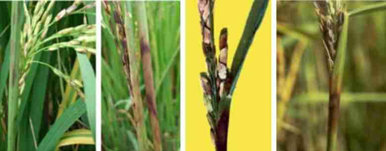 بیماری پوسیدگی غلاف برنج