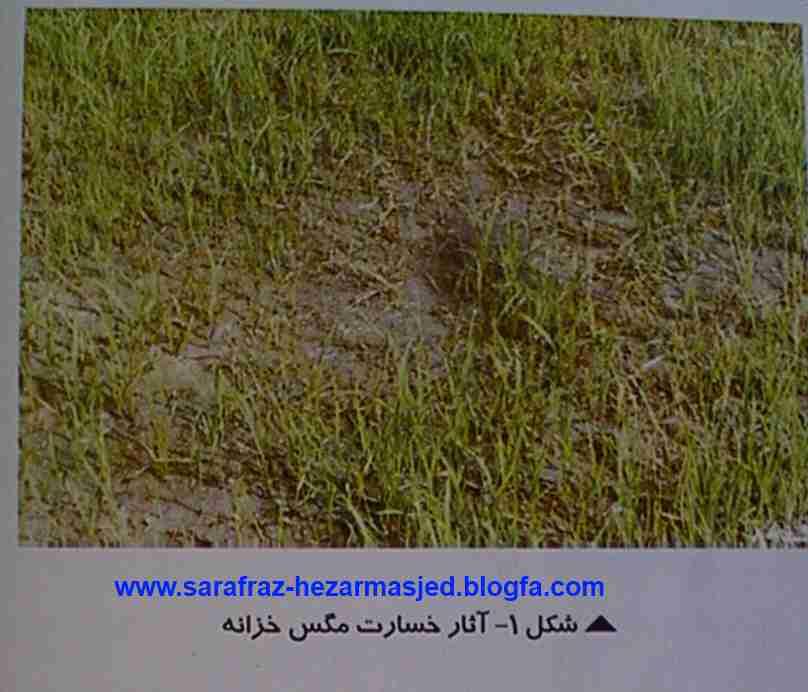 آثار خسارت Ephydra afghanica Dahl