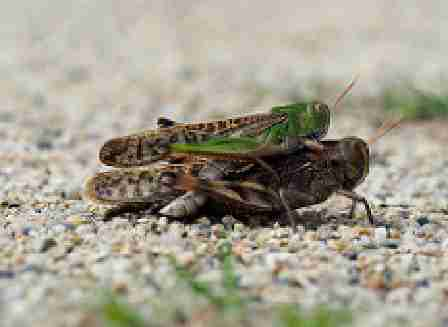 Locusta migratoria Danica