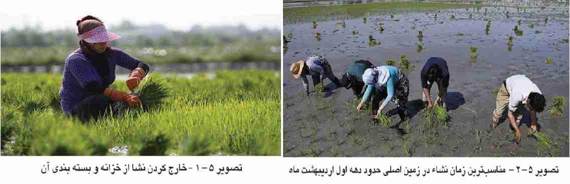 انتقال نشا و کاشت برنج