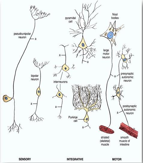 پاورپوینت بررسی دستگاه عصبی انسان