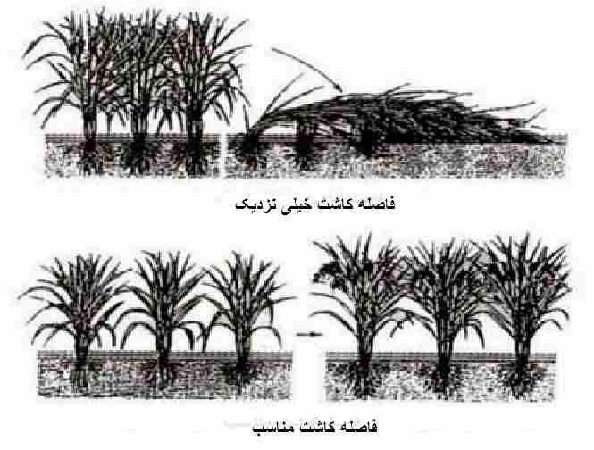 فاصله کاشت مناسب برنج