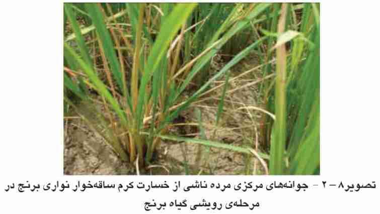 علایم خسارت کرم ساقه خوار در مراحل رویشی برنج