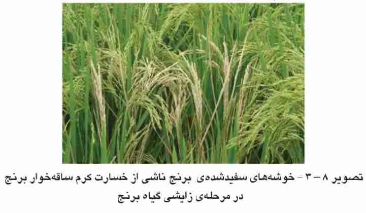 علایم خسارت کرم ساقه خوار بر روی خوشه های برنج