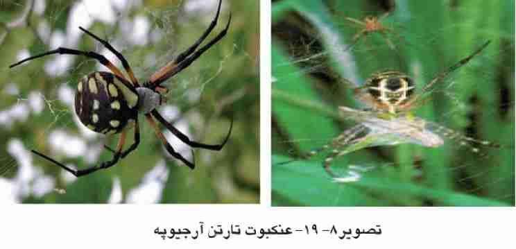عنکبوت تارتن آرجیوپه