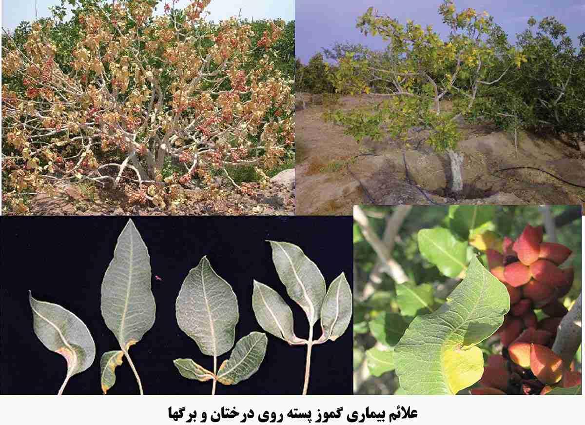 غلایم بیماری گموز پسته روی درختان و برگها