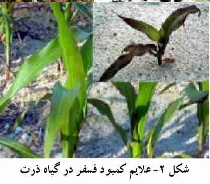 علایم کمبود کود فسفر در گیاه ذرت