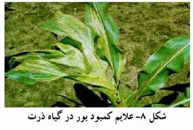 علایم کمبود بور در گیاه ذرت