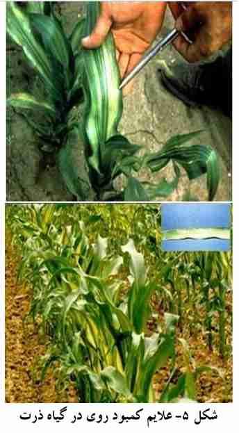 علایم کمبود روی در گیاه ذرت