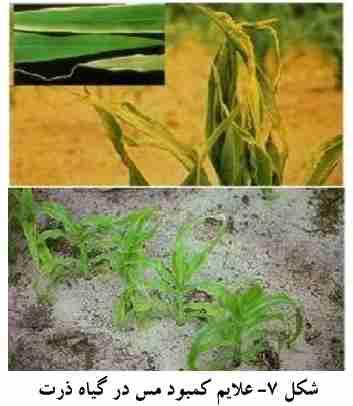 علایم کمبود مس در گیاه ذرت