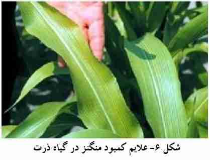 علایم کمبود منگنز در گیاه ذرت