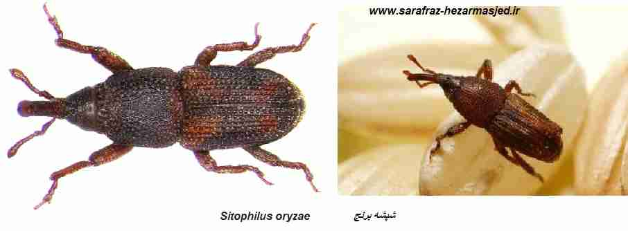 شپشه برنج Sitophilus oryzae