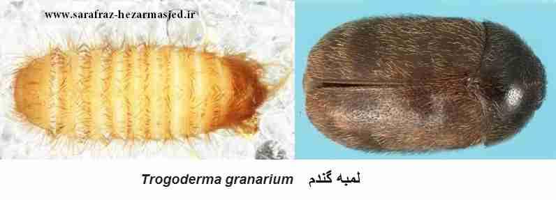 لمبه گندم Trogoderma granarium