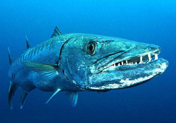 [عکس: The_great_barracuda_a_coastal_predator_k...t_U_S_.jpg]