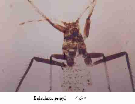 Eulachnus .releyi
