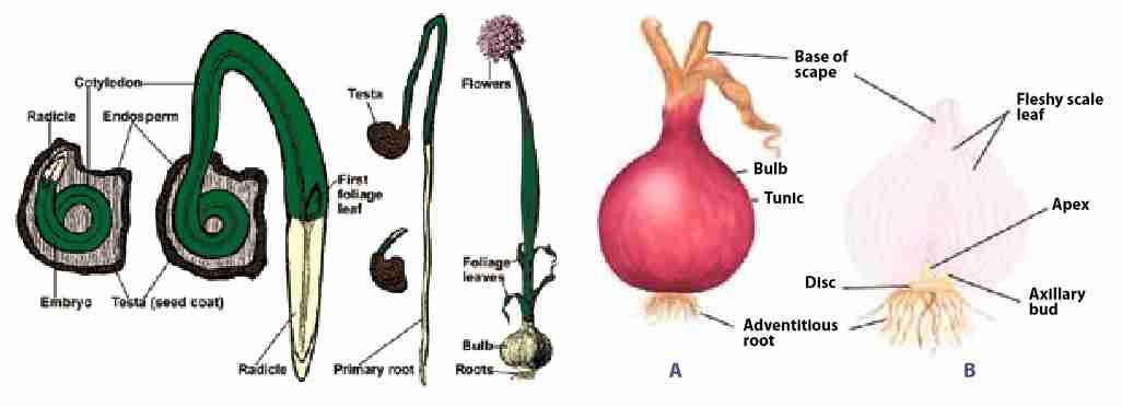 گیاه شناسی پیاز
