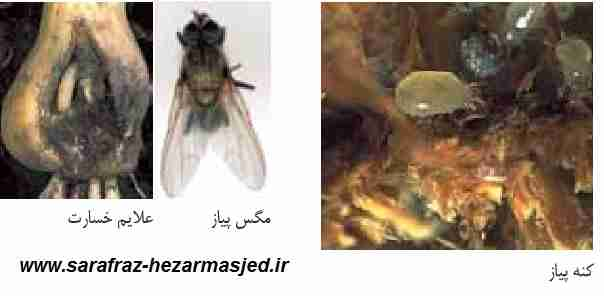 مگس پیاز Hylemyia antique	 - کنه Rhizoglyphus sp