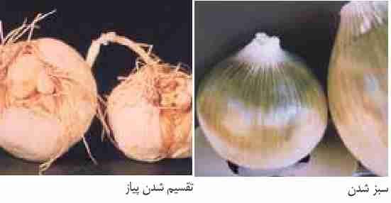 تقسیم شدن سوخ ها Bulb splitting - سبز شدن Greening