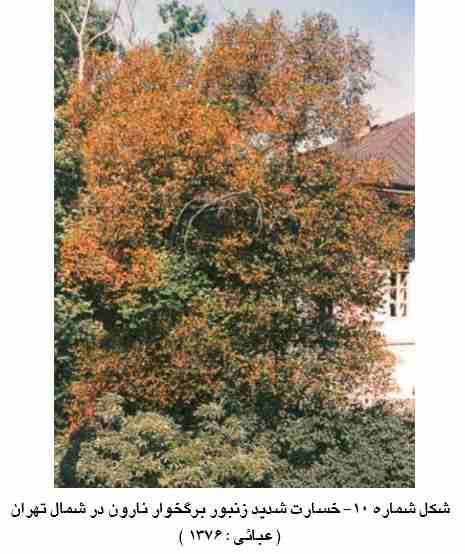 آثار خسارت شدید زنبور مینوز برگ نارون  Fenusa ulmi Sundevall