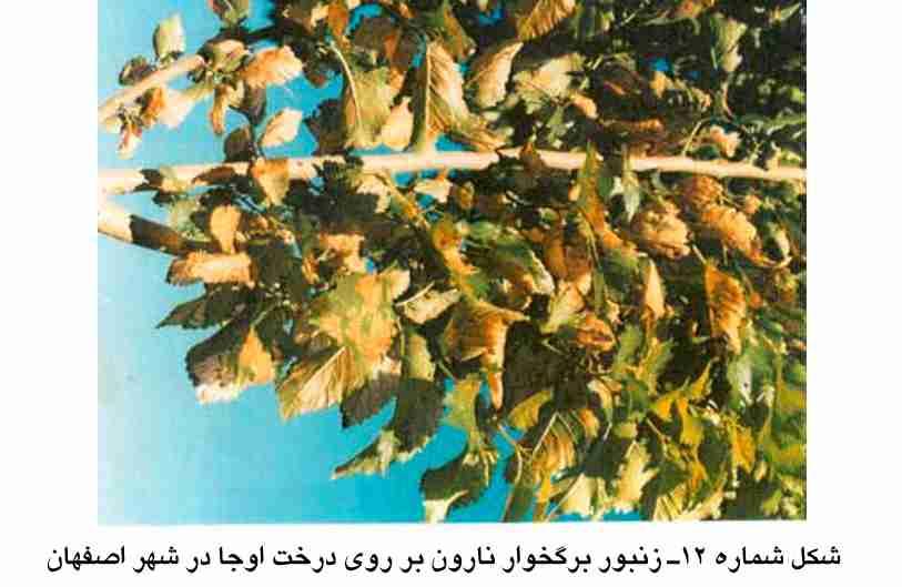 زنبور برگخوار نارون روی درخت اوجا