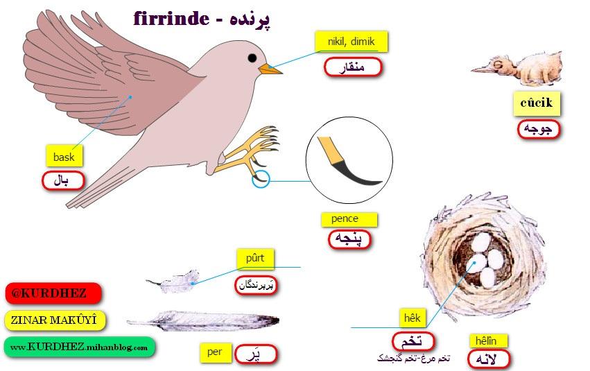 آموزش کوردی لغات مربوط به پرنده