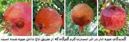 گندیدگی میوه انار در اثر خسارت کرم گلوگاه انار