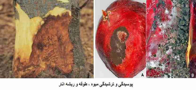 بیماری پوسیدگی و ترشیدگی میوه - طوقه و ریشه انار