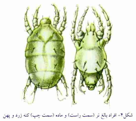 افراد نر و ماده کنه زرد و پهن  ( Polyphagotarsonemus latus )