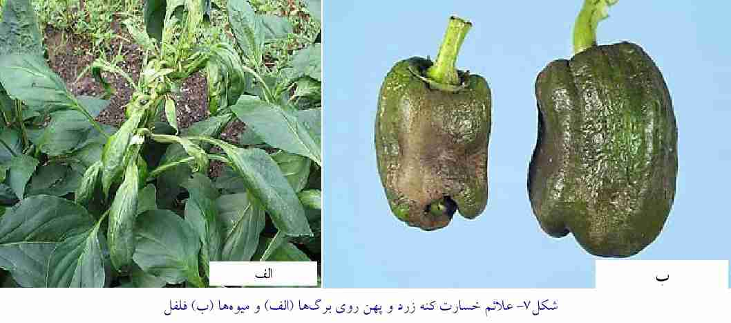 علایم خسارت کنه زرد و پهن روی برگ و میوه فلفل