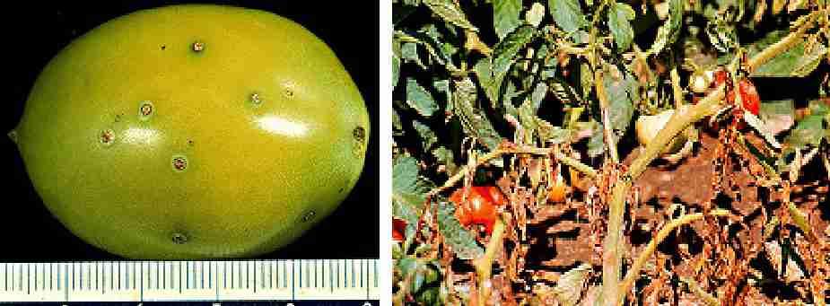 شانکر باکتریایی گوجه فرنگی