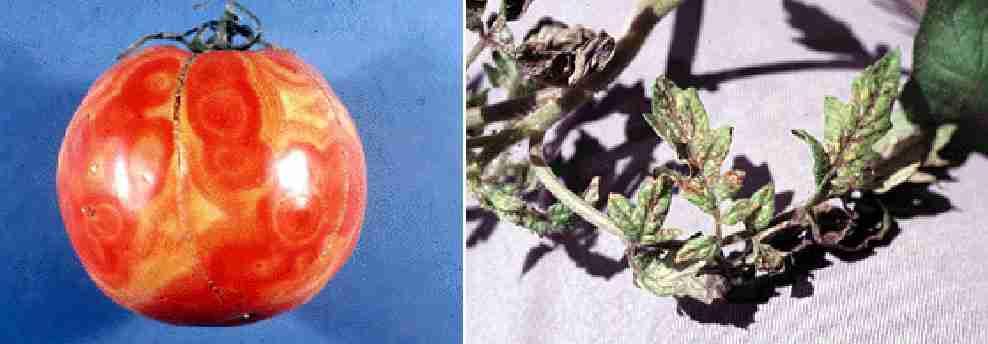ویروس پژمردگی خالدار گوجه فرنگی