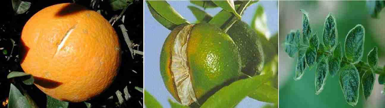 علایم کمبود کلسیم در برگ و میوه مرکبات