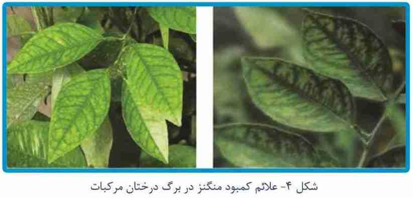 علایم کمبود منگنز در برگ درختان مرکبات