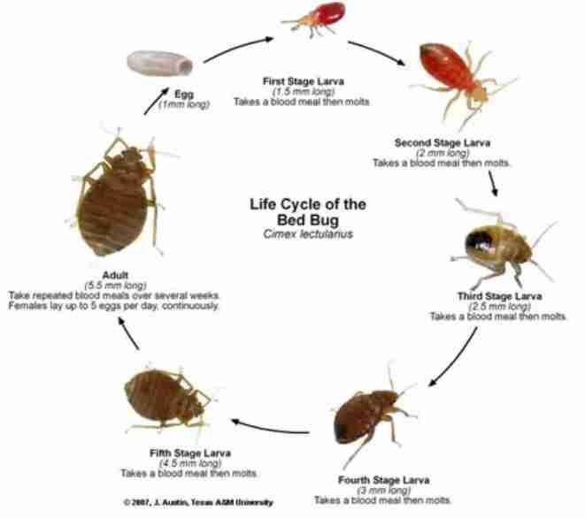 چرخه زندگی ساس